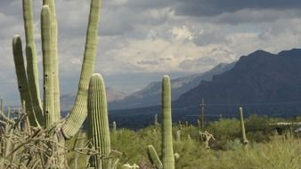 saguaro cacti in view of gorgeous mountains, usa, arizona