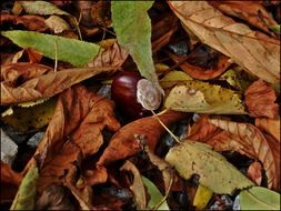 chestnut among dry autumn leaves close-up