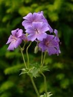 geranium blue flowers on a stalk