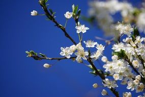 White plums bloom against blue sky