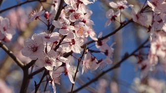 pink cherry blossoms at blue sky