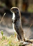 arctic ground squirrel in its natural habitat