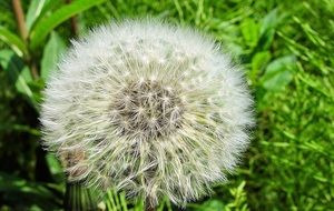 dandelion flower grow season