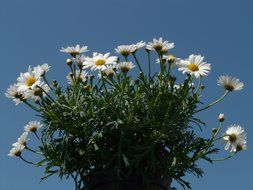 Chamomile bush on blue sky background