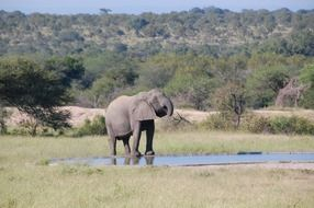 elephant near the water in the wild in South Africa
