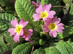 light pink primroses close-up