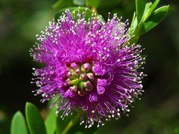 downy violent flower nature flora beautiful