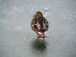 duck on the frozen pond