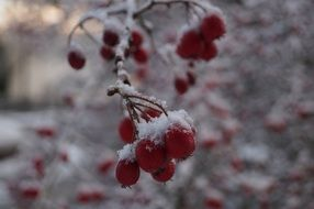 red berries on the branches in the snow close up