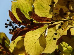 autumn leaves and seeds of a linden in bright light