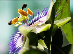 passion flower close up, side view