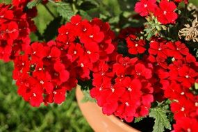 blooming red flowers in a pot