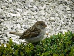 female sparrow on grass