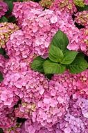 summer bright purple hydrangea flowers