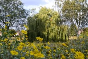 Landscape of willow trees