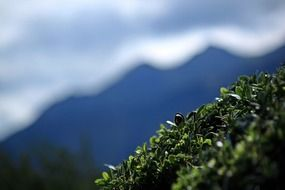 mountain shrub