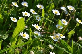 White spring daisy blossom in green grass