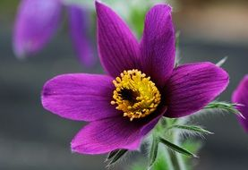 pulsatilla, pasque flower close up