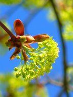 maple flower on tree in spring