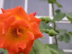 wonderful orange rose flower