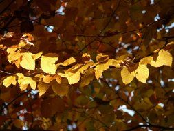 Bright leaves of European beech in autumn day