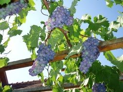 blue grapes harvest