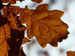 brown oak leaves close-up