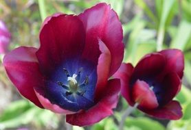 dark red tulip flower