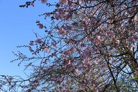 cherry trees in bloom in spring