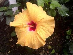 Beautiful, wet, yellow and red hibiscus flower
