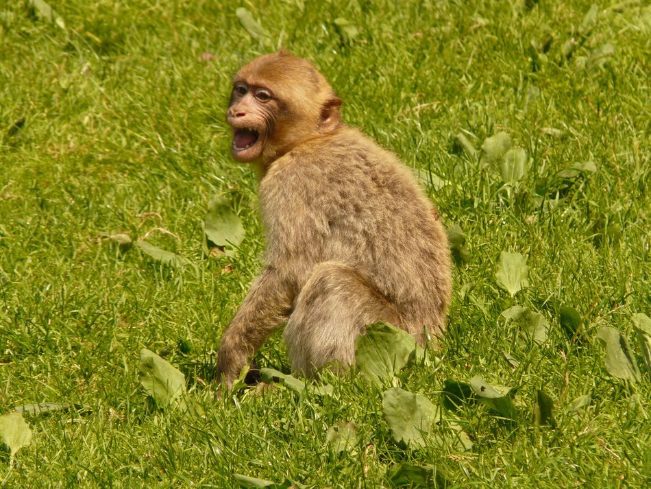 Barbary ape on the green grass