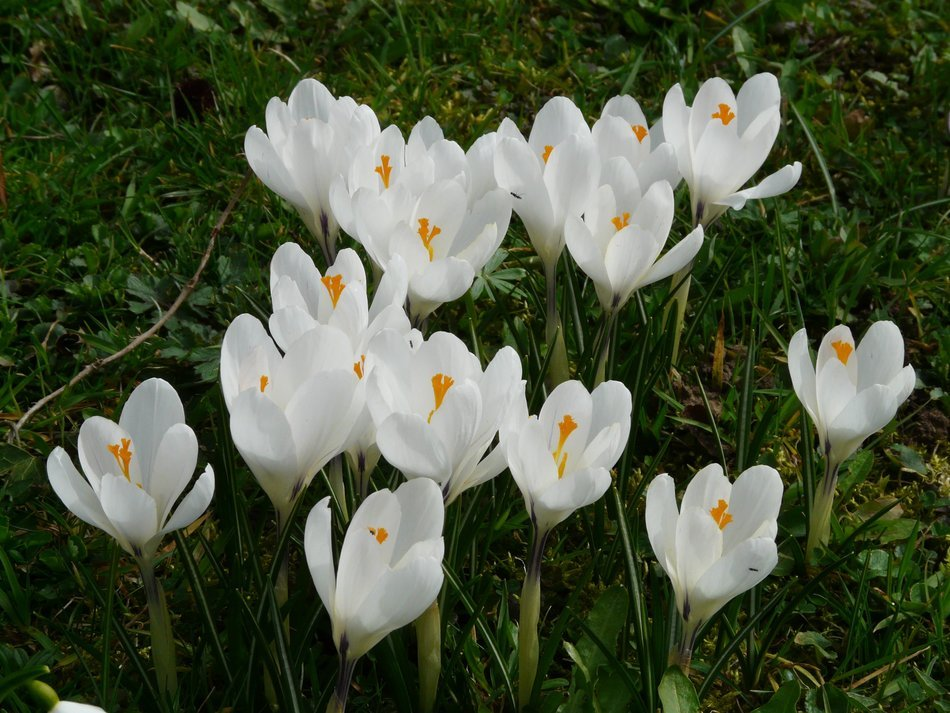 white crocuses on a green grass