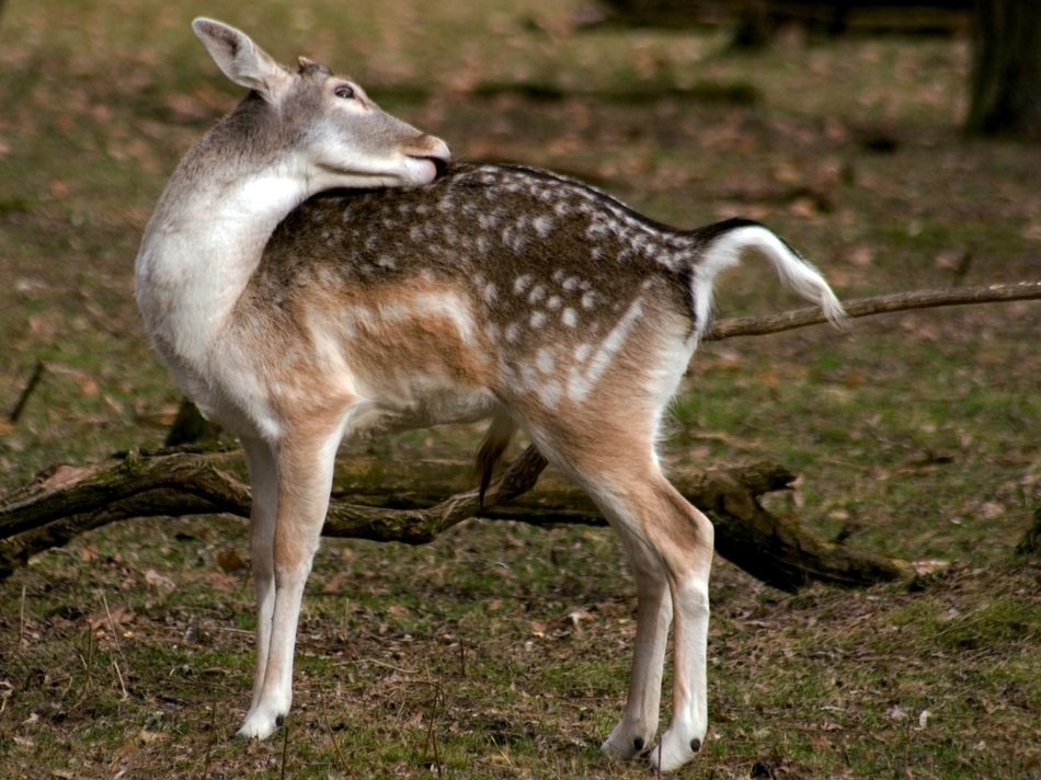 Spotted fallow deer in the forest