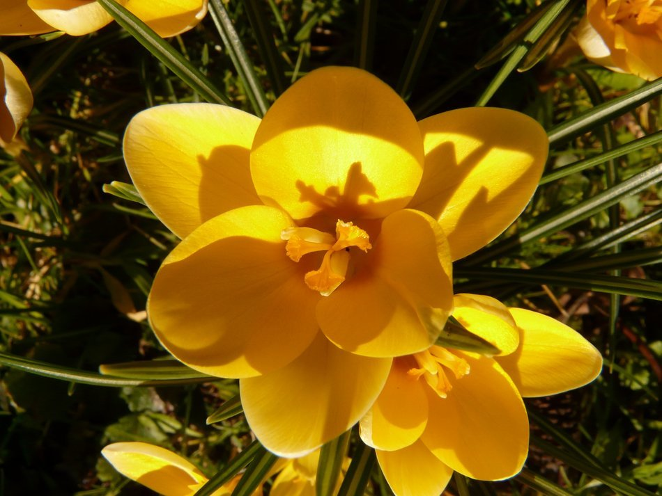 yellow crocus close-up