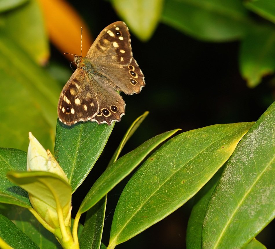 brown butterfly on oblong leaves