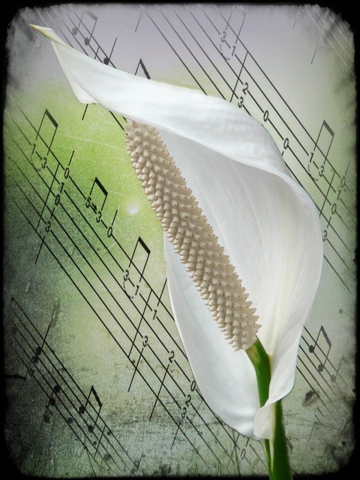 White Spathiphyllum on a background of paper with notes