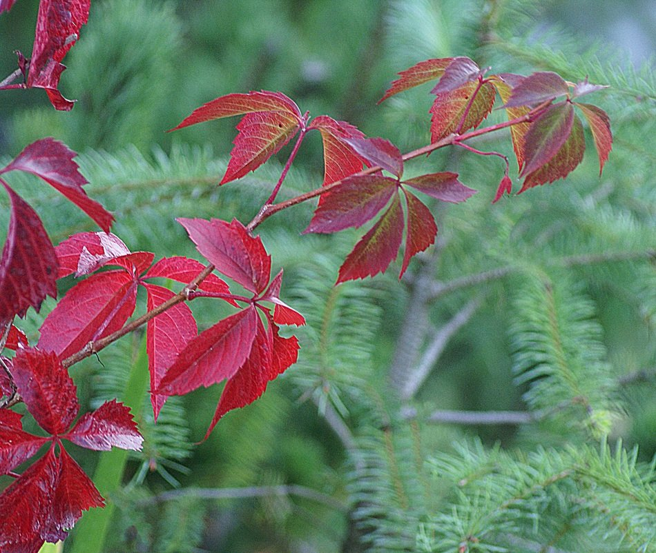 Parthenocissus branch on a background of a coniferous tree