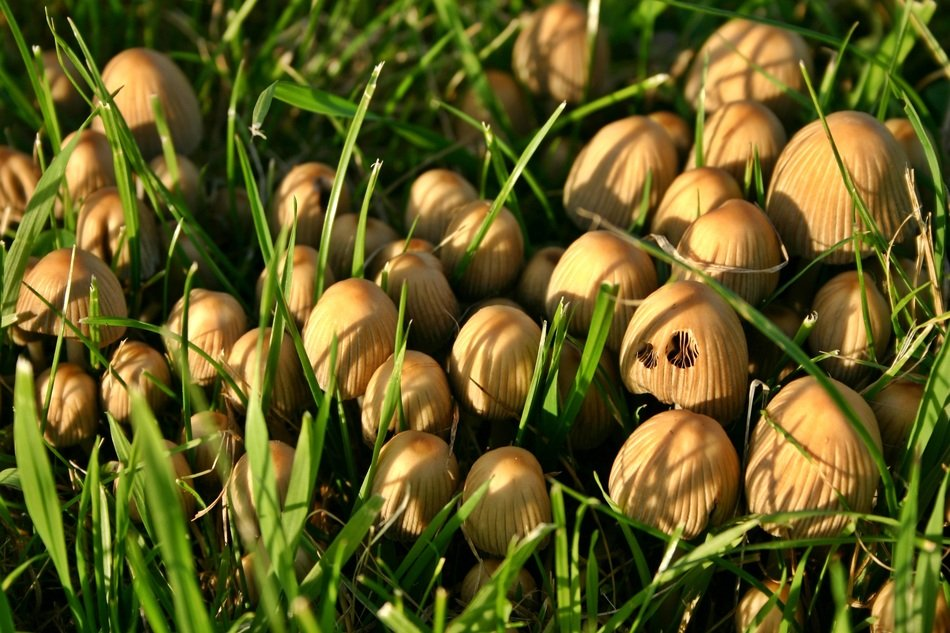 group of mushrooms in the green grass