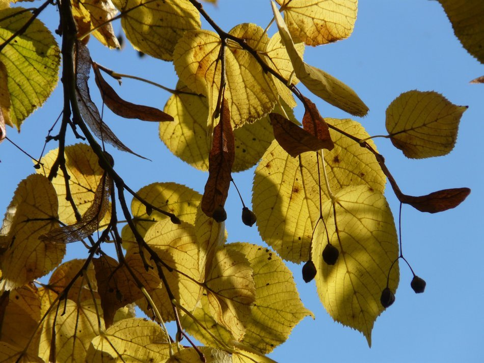 view of the blue sky through the autumn leaves and the seeds of a linden