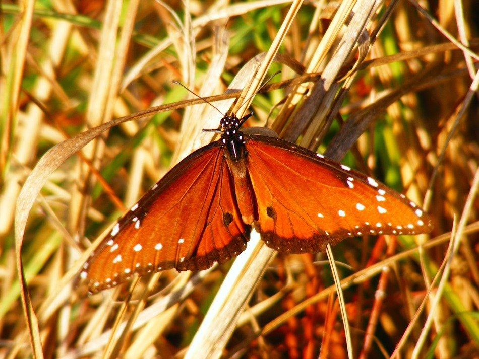 butterfly among the dry grass