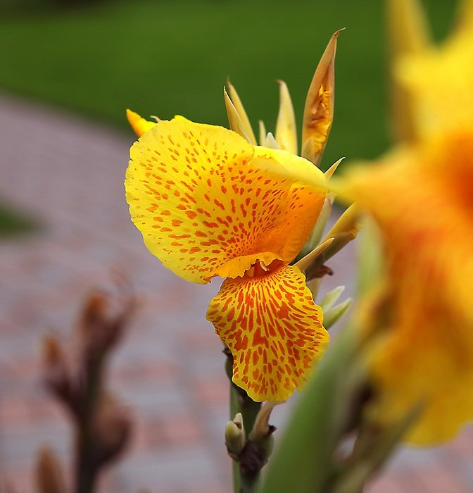 flower Yellow Canna close-up