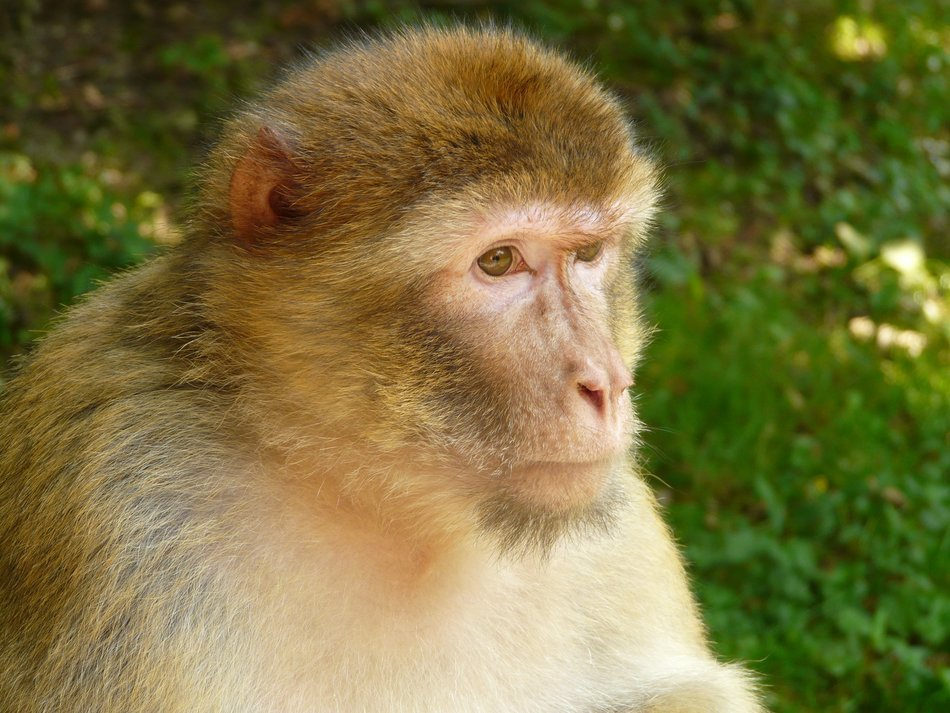 Barbary ape closeup