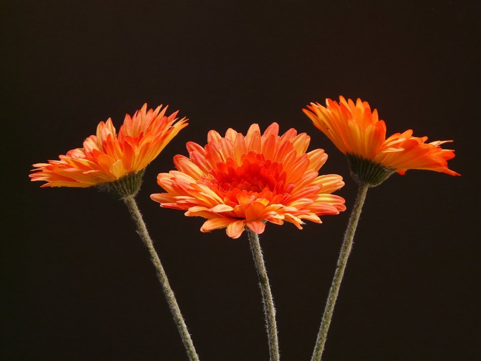 Three orange gerbera on a black background