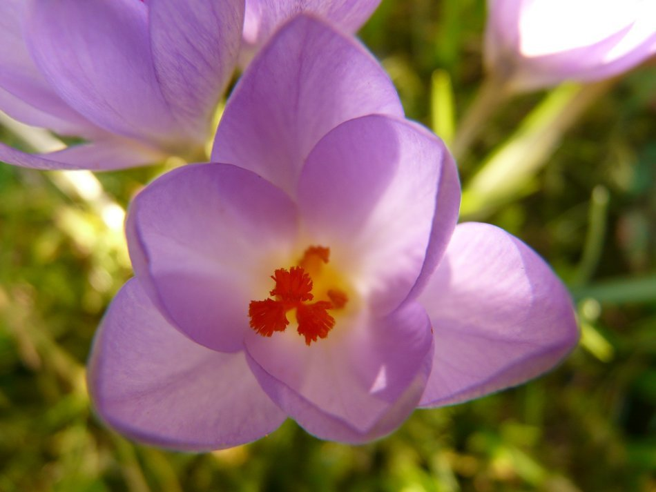 purple crocus with colorful stamens close-up