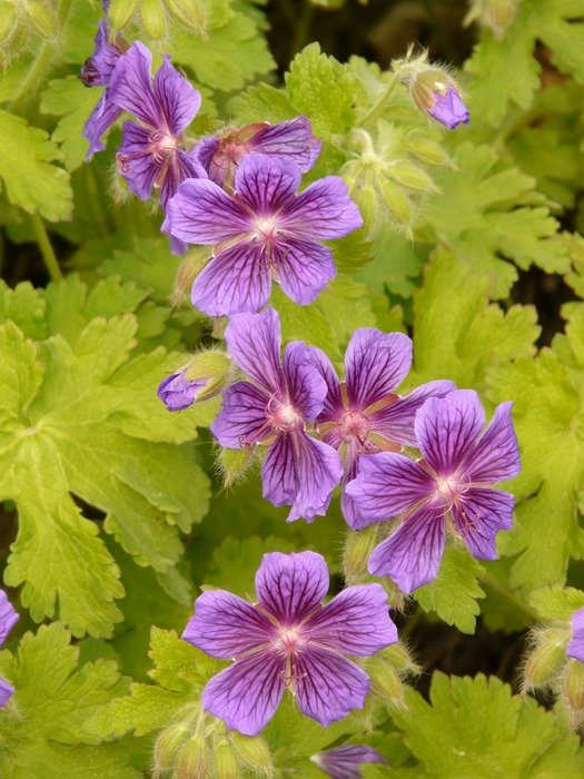purple geranium flowers among the light green leaves