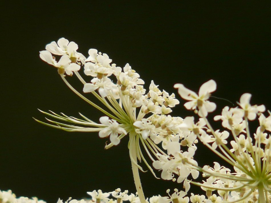 blooming wild carrot