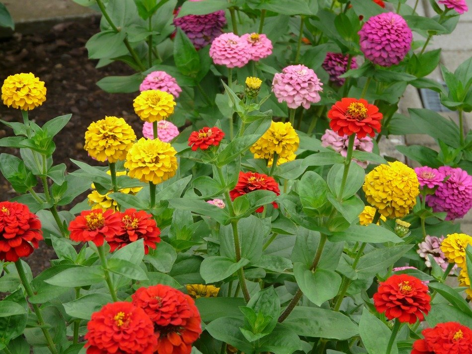 colorful Zinnias on stalks