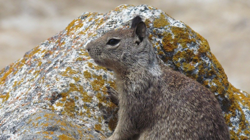 gray squirrel on a stone background