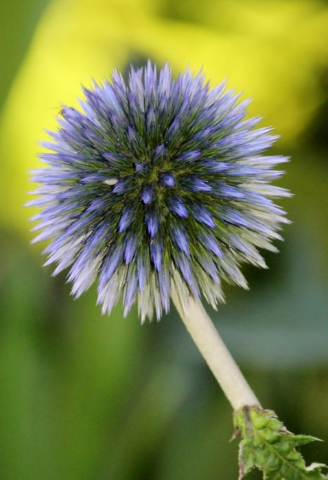 lush light blue thistle flower