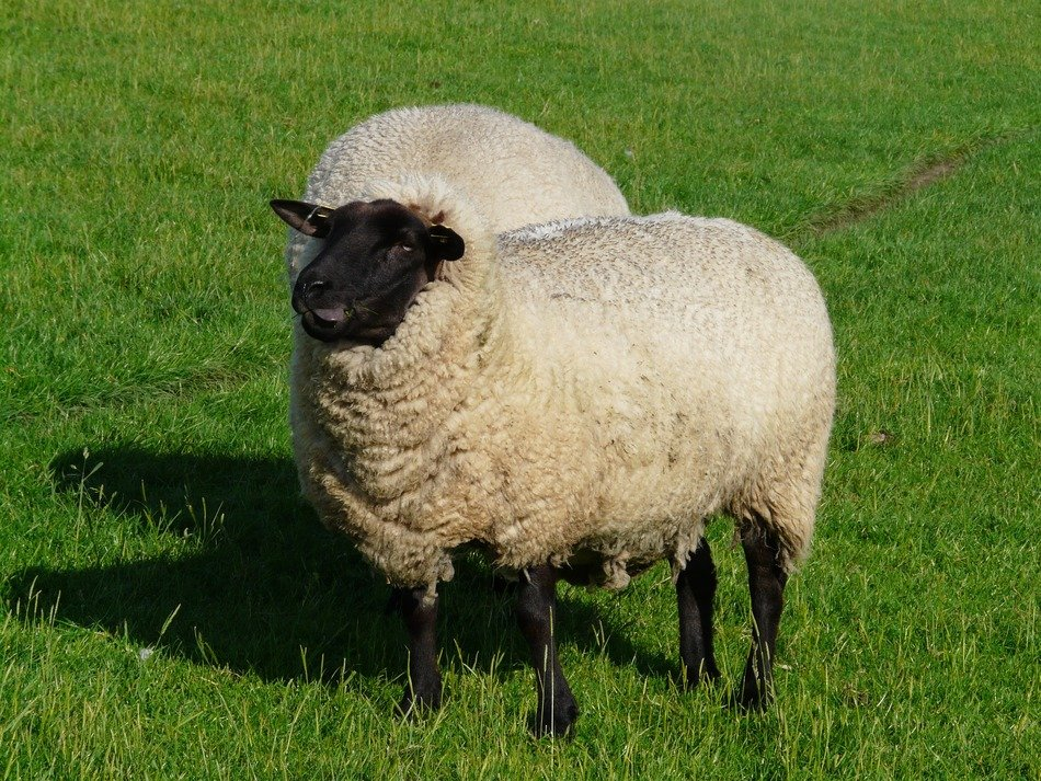 sheep funny happy